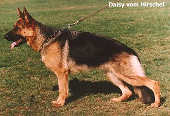 Enlarge Picture - DAISY VOM HIRSCHEL