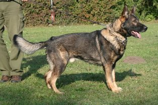 Personal Protection Trained Male German Shepherd