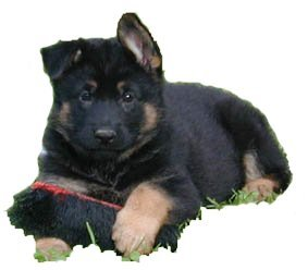 Quality German Shepherd Pups