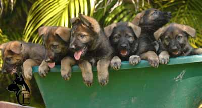 Gsd Sable Puppies For Sale From Top Blood Lines