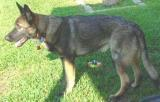Sold 7 Month Old German Shepherd Is Sold