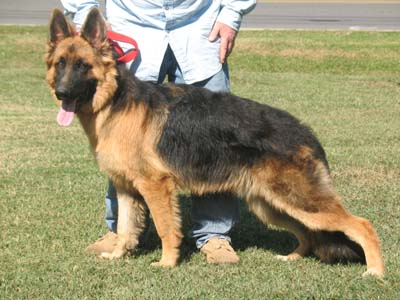 6 Month Old German Shepherd Male