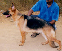 Show Quality German Shepherd Male Puppies Available In India