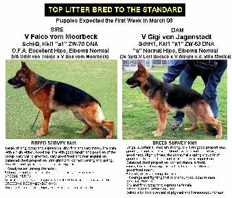 ~ Top Litter Bred To The Standard ~