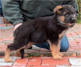 German Sheperd Pupps In California Aviable