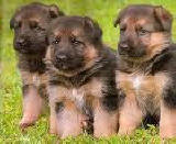 AKC Registered German Shepherd female puppies